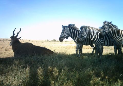 Most of these animals are chilling - except for that one funky zebra