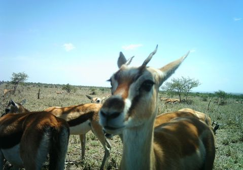 This Gazelle has stage presence.