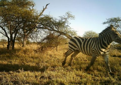 As user dms246 says: blick and you'll miss this zebra.