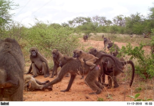 baboon-troop