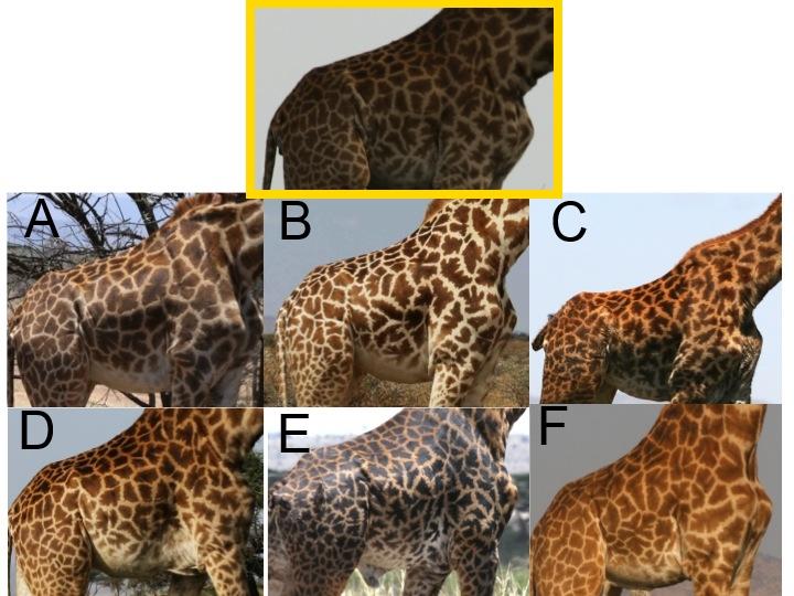 Giraffes Snapshot Serengeti