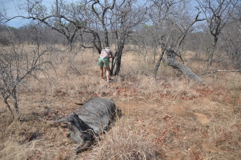 Setting up a camera trap on a dead wildebeest
