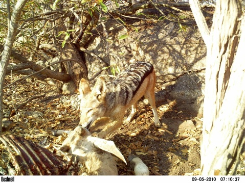 Jackal at eland kill