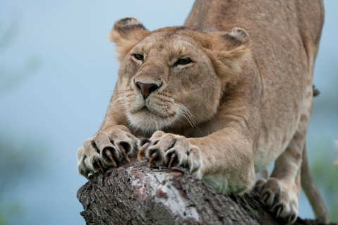Lioness stretching. Those claws are sharp!
