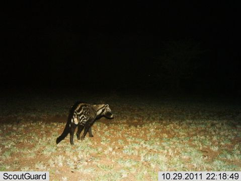 civet showing perineal gland