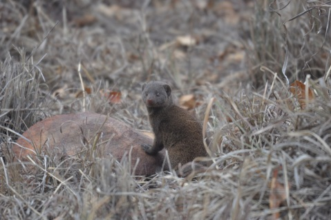 Dwarf mongoose! One of the cutest critters out there...