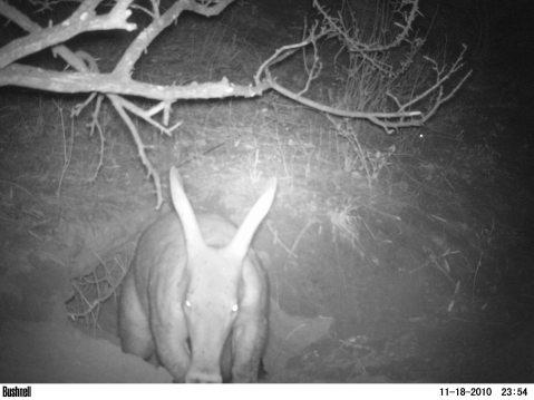 Aardvark!