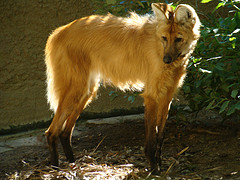 Maned wolf; credit Mario Pineda flickr cc