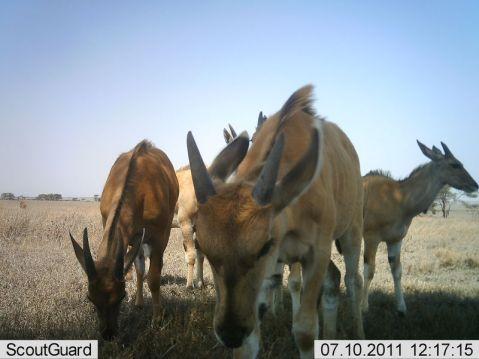 Young eland creche