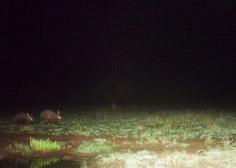 Two aardvark