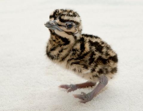 Kori bustard chick