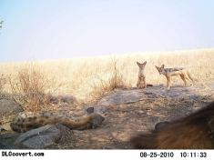 Spotted hyena and black-backed jackal