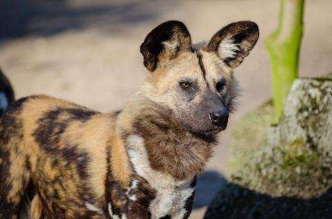 african-wild-dog-1852795_1920